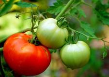 گوجهفرنگی سبز