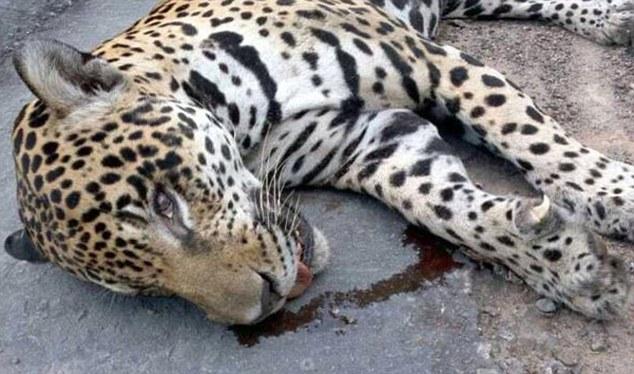 کشته شدن یوزپلنگ در مراسم حمل مشعل ریو