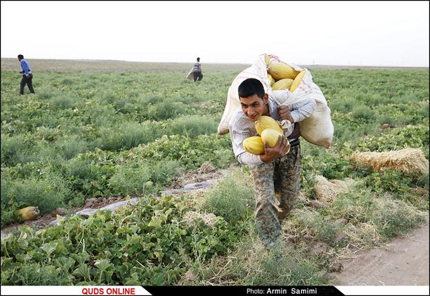 برداشت خربزه در تربت جام/گزارش تصویری