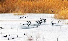 برودت هوا پرندگان مهاجر در مهاباد را کوچ داد/دوستداران محیطزیست پایکار آمدند