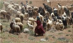 ۱۷۰۰ تن الیاف دامی در سال توسط عشایر استان کرمانشاه تولید شد