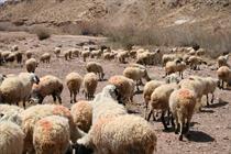 ضرر دامداران از قیمت بالای نهادههای دامی/ دولت حمایت نمیکند