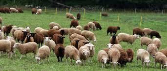 طرح مطالعه آلودگی انگلی گوسفند و بز
