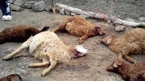 گله گوسفندا ن