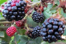 تمشک سیاه میوه ای با خواص آنتی اکسیدانی بالا