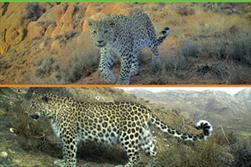 تقویم یوزپلنگ ایرانی
