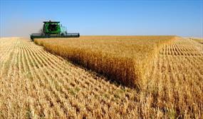 تکالیف دولتیها برای خرید گندم تولید داخل