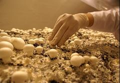 تولید قارچ