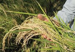 رئیس انجمن برنج
