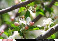 جشن شکوفه های گیلاس/گزارش تصویری