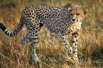 ۳ قلاده یوزپلنگ ایرانی در استان سمنان مشاهده شد