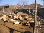 سیل در کازرون ۱۹۰ گوسفند را تلف کرد