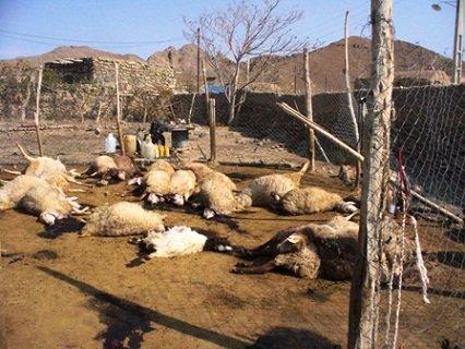 تلف شدن گوسفندان