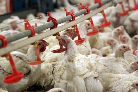 آنفلوآنزای فوق حاد پرندگان