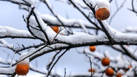خسارت سرمازدگی به محصولات کشاورزی