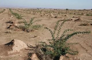 طرح جنگل کاری در مهران