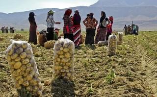 سیب زمینی کردستان