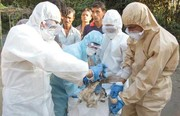 آنفلوآنزای مرغی به جان طیور چهار محال و بختیاری افتاد