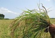 پیش بینی سرمازدگی ۱۵ درصد گندم سمنان/میزان خسارت وارد شده مشخص نیست