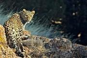 تصویر ۳ قلاده پلنگ در منطقه شکار ممنوع خنار ثبت شد