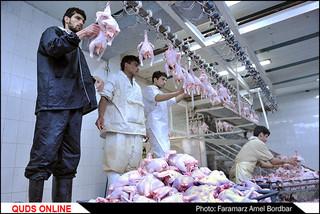 کشتارگاه صنعتی مرغ/ گزارش تصویری