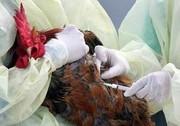 آنفلوآنزای فوق حاد پرندگان قابلیت انتقال به انسان را ندارد/ مردم با آسودگی گوشت مصرف کنند