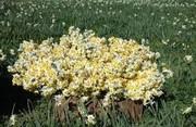 تولید ۲میلیون شاخه گل نرگس در لرستان