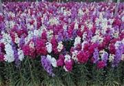 خمینی شهر بزرگ ترین تولید کننده گل شب بودر کشور