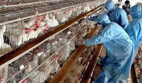 آنفلوآنزاي فوق حاد پرندگان