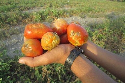 گوجه - کراپشده
