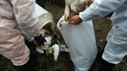 آنفلوانزای مرغی در استان زنجان با اقدامات پیشگیرانه اکیپ کنترل دامپزشکی مهار شد