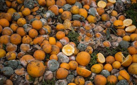 خسارت باغات پرتقال