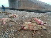 قطار مشهد-تهران یک چوپان و ۷۰ راس گوسفند را کشت