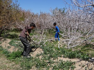 خسارت سرمازدگی به باغات انجیر