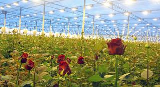 تولید پایه گل رز به روش استنتينگ
