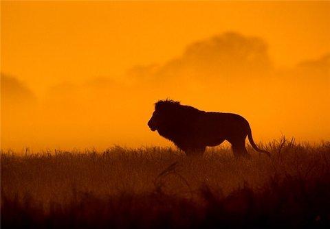شیر جنگل، حیوان