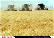 پیشبینی برداشت ۵۹ هزار تن جو از مزارع خراسانجنوبی