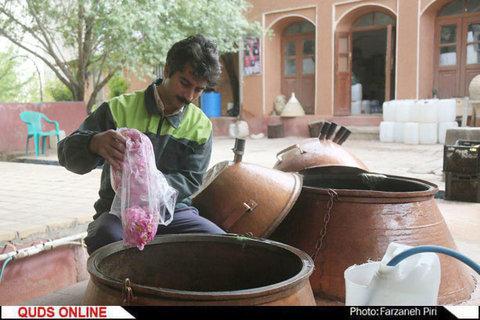 برداشت گل محمدی در قمصر کاشان