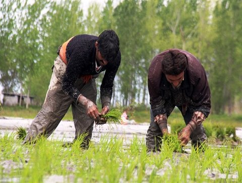 کاشت برنج در قطب تولید آن امکان پذیر نیست؛ اقتصاد روستائیان شکننده است