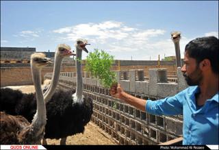 پرورش شتر مرغ