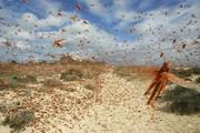 هجوم ملخ ها به مراتع و اراضی لرستان/ مبارزه علیه این حشره آغاز شد