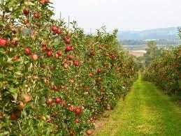 باغات سیب