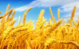 خرید گندم مازاد بر نیاز کشاورزان استان لرستان از مرز ۲۰۰هزار تن گذشت