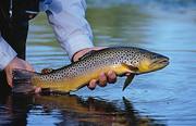 قزلآلای خال قرمز در فهرست سرخ جهانی/ صید غیرمجاز تهدیدی جدی برای آزاد ماهیان