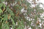 درخت مقدس ماداگاسگار «قاتل» مادربزرگان چابهاری!