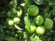برداشت ۱۱ هزار تن لیمو ترش از باغات سیستان و بلوچستان