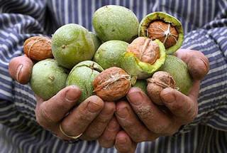 ۴ هزار تن گردو در شهرستان سلسله تولید می شود