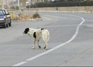 جمع آوری سگ های ولگرد در سیستان و بلوچستان در دستور کار قرار گرفت