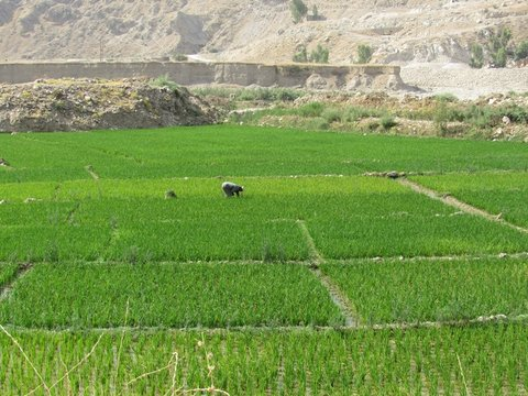 رنج برنج طعم با دلنشین اقتصاد مقاومتی