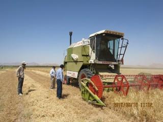 اغاز برداست غلات از مزارع بجستان
